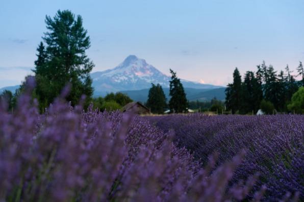 Lavender Farm in Hood River